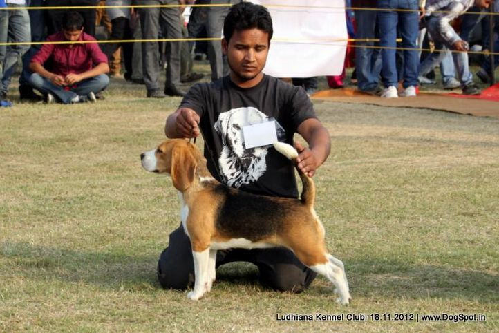 beagle,sw-66,, Ludhiana Dog Show 2012, DogSpot.in