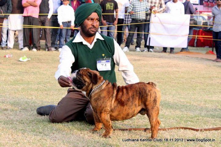 bull dog,ex-74,sw-66,, COPPER CASH VON ARYAN LAND, Bull Dog, DogSpot.in