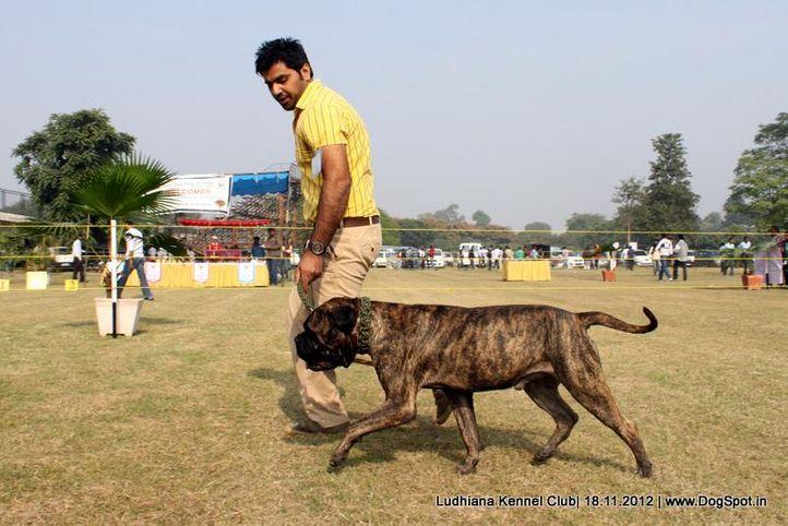 bull mastiff,sw-66,, Ludhiana Dog Show 2012, DogSpot.in