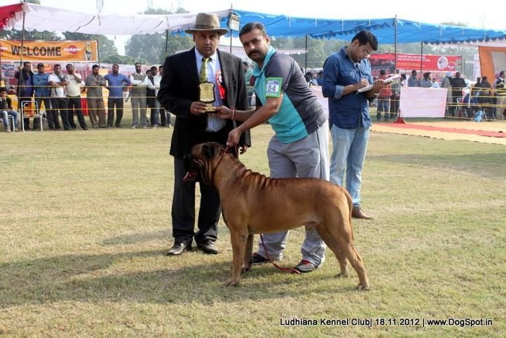 bull mastiff,ex-184,judges,sw-66,, IRON STONE ROHILA OF NEHAMEN, Bullmastiff, DogSpot.in