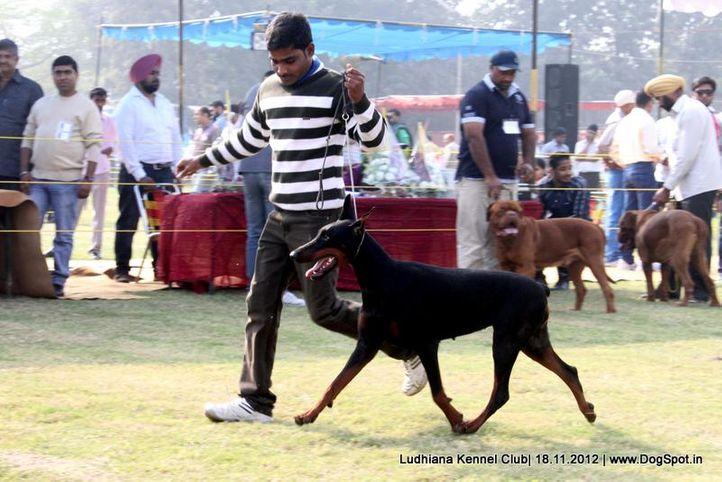 doberman,sw-66,, Ludhiana Dog Show 2012, DogSpot.in