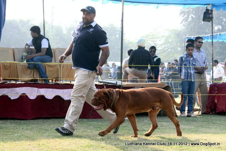 dogue de bordeaux,ex-203,sw-66,, CHIEF, Dogue De Bordeaux, DogSpot.in
