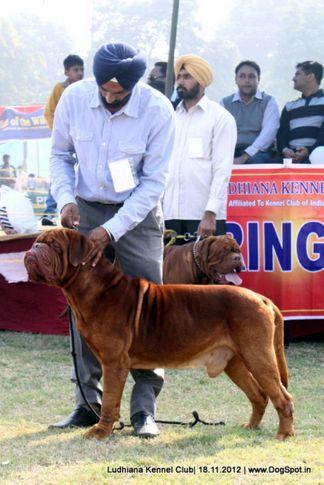 dogue de bordeaux,sw-66,, Ludhiana Dog Show 2012, DogSpot.in