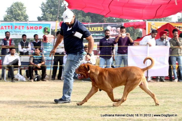 dogue de bordeaux,sw-66,, Ludhiana Dog Show 2012, DogSpot.in