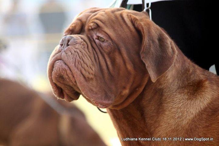 dogue de bordeaux,ex-206,sw-66,, THOR, Dogue De Bordeaux, DogSpot.in
