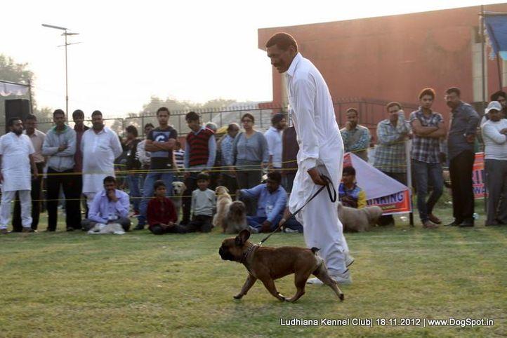 ex-78,french bull dog,sw-66,, KUNWAR'S HEKTOR, French Bull Dog, DogSpot.in
