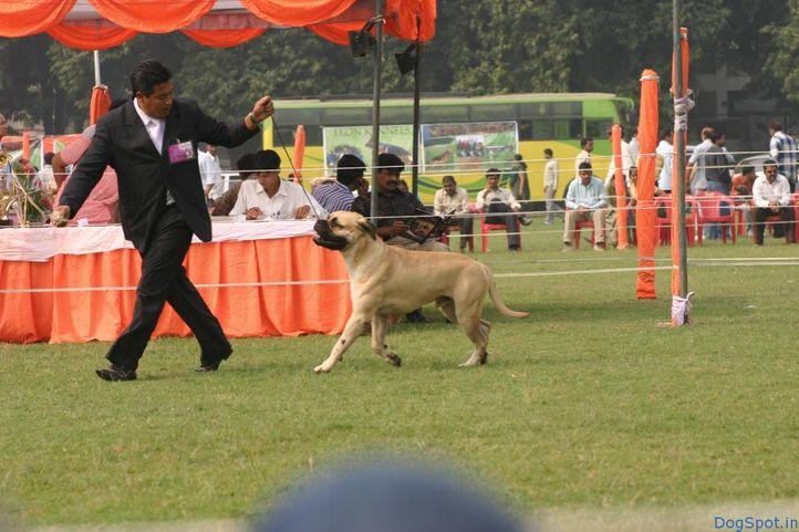 Mastiff, Mastiff, DogSpot.in
