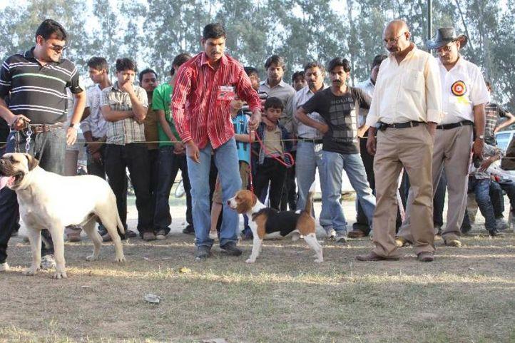Beagle,, Meerut Dog Show, DogSpot.in
