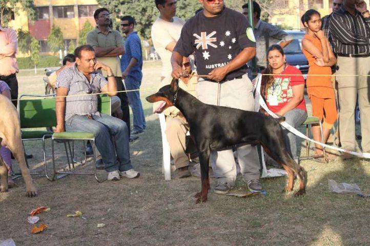 Doberman,, Meerut Dog Show, DogSpot.in