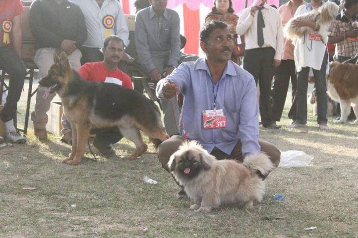 Pekingese,, Meerut Dog Show, DogSpot.in