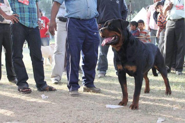 Rottweiler,, Meerut Dog Show, DogSpot.in