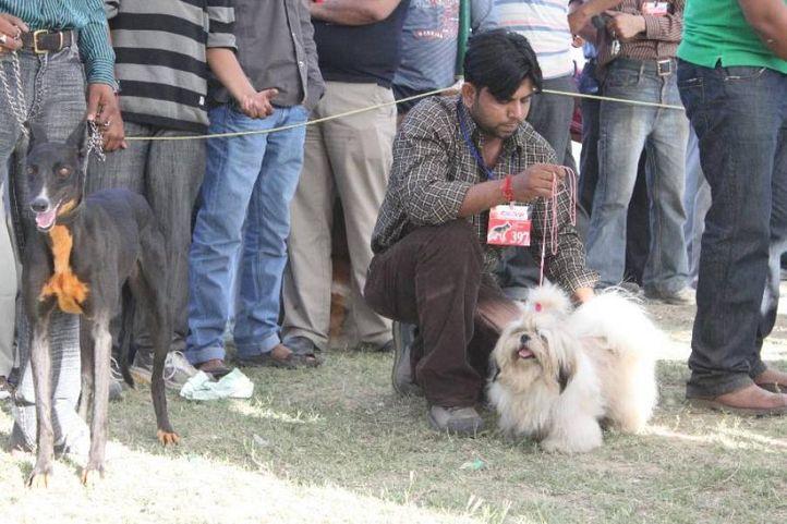 shih tzu,, Meerut Dog Show, DogSpot.in
