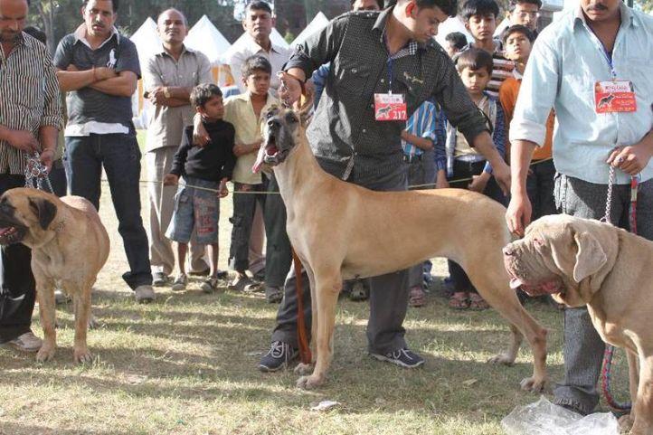 Great Dane,, Meerut Dog Show, DogSpot.in