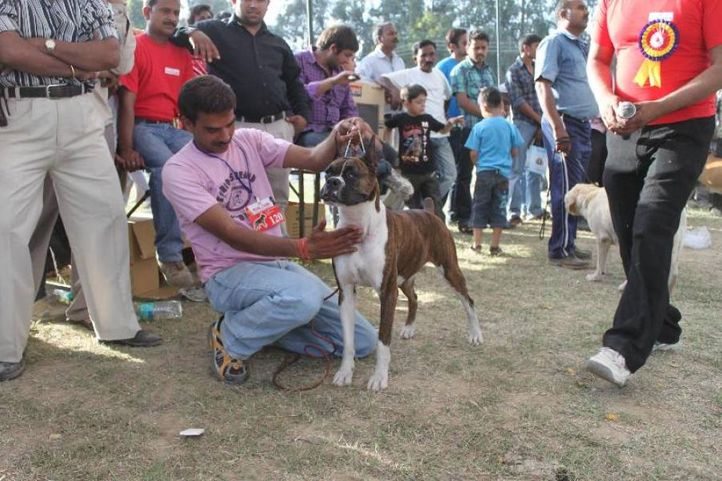 Boxer,, Meerut Dog Show, DogSpot.in