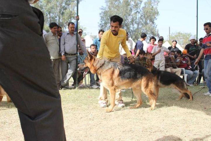 German shepherd,, Meerut Dog Show, DogSpot.in