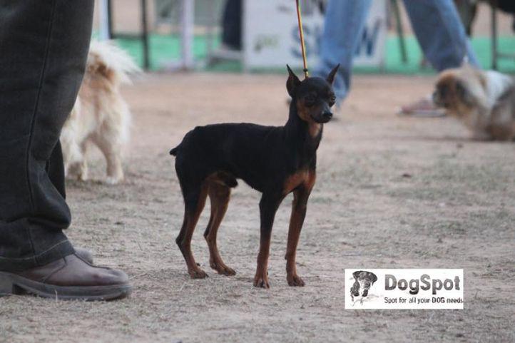 MinPin,, MinPin Chandigarh, DogSpot.in