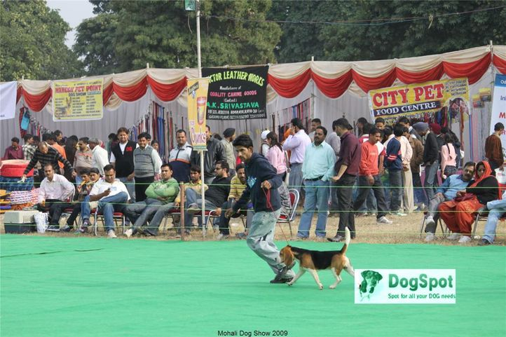 Beagle, Mohali Dog Show, DogSpot.in