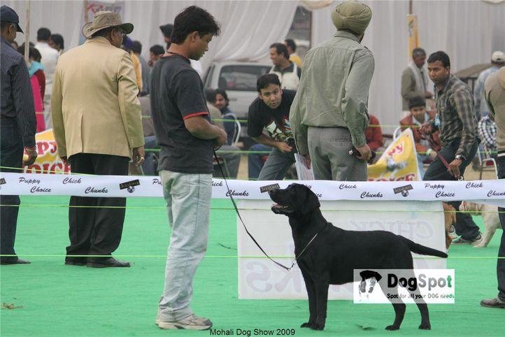 Labrador,, Mohali Dog Show, DogSpot.in