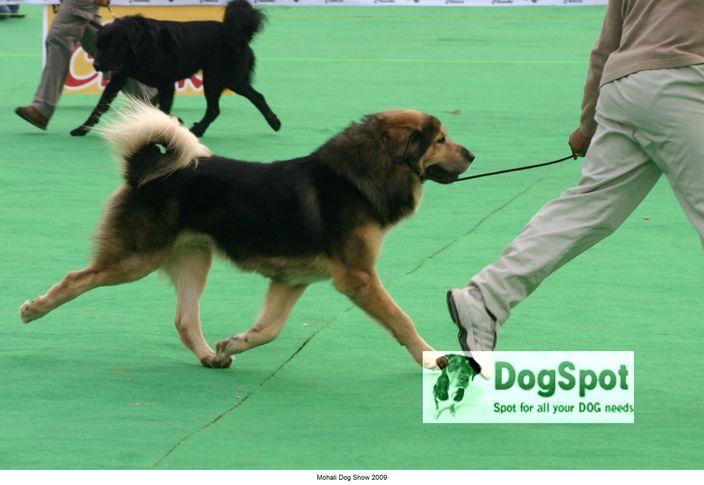 Mastiff,, Mohali Dog Show, DogSpot.in