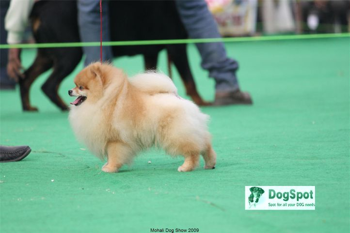pomeranian,poms,, Mohali Dog Show, DogSpot.in