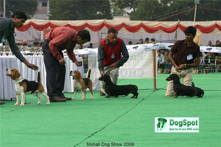 beagle, hounds, Mohali Dog Show, DogSpot.in