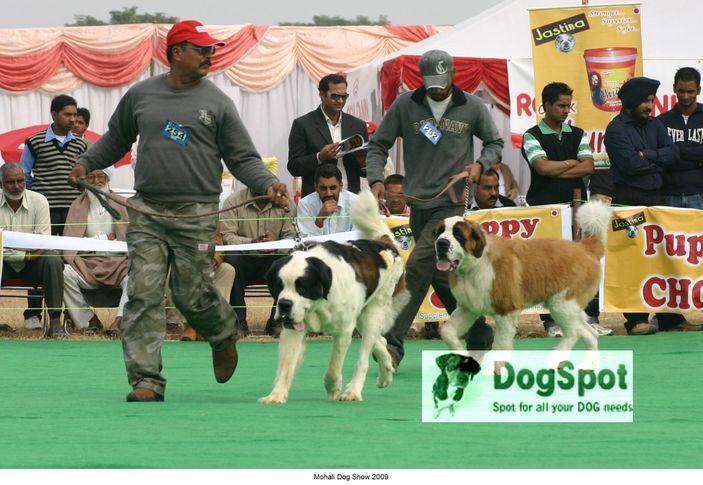 St Bernard,, Mohali Dog Show, DogSpot.in