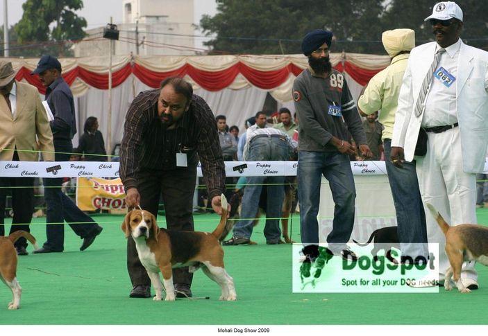 Beagle, Mohali Dog Show, DogSpot.in