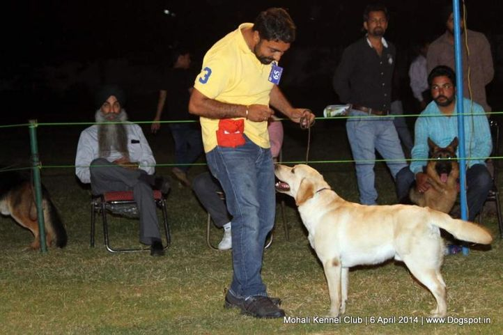 ex-65,lab,labrador retriever,sw-122,, MAX OF RIVIERA, Labrador Retriever, DogSpot.in