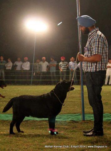 ex-72,lab,labrador retriever,sw-122,, SPICE'S BLACK BOY, Labrador Retriever, DogSpot.in