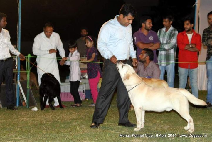 ex-73,lab,labrador retriever,sw-122,, MOHINDRA'S RAPID ACTION, Labrador Retriever, DogSpot.in