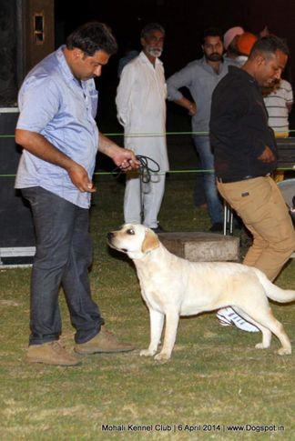 ex-78,lab,labrador retriever,sw-122,, AMIT'S QUEENY, Labrador Retriever, DogSpot.in