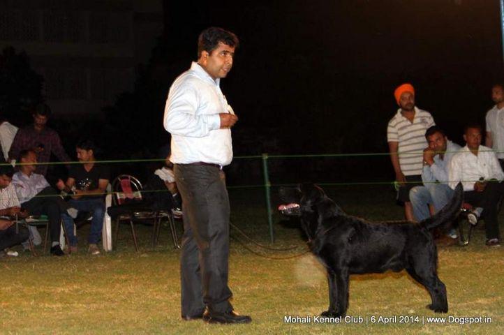 ex-183,lab,labrador retriever,sw-122,, Mohali Kennel Club, DogSpot.in