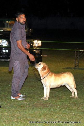 lab,labrador retriever,sw-122,, Mohali Kennel Club, DogSpot.in