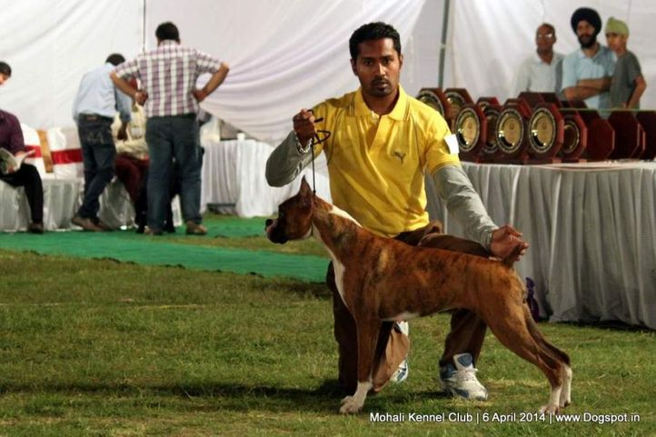 boxer,ex-189,sw-122,, Mohali Kennel Club, DogSpot.in