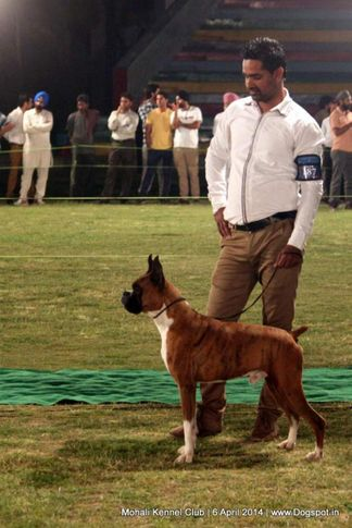 boxer,ex-187,sw-122,, Mohali Kennel Club, DogSpot.in