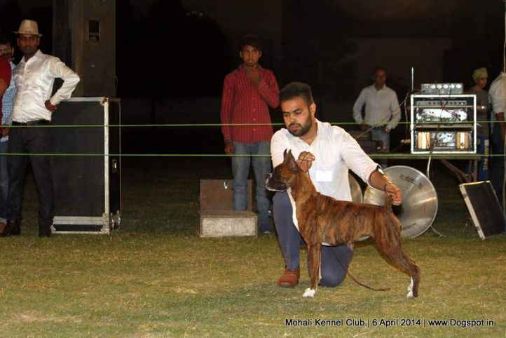 boxer,sw-122,, Mohali Kennel Club, DogSpot.in