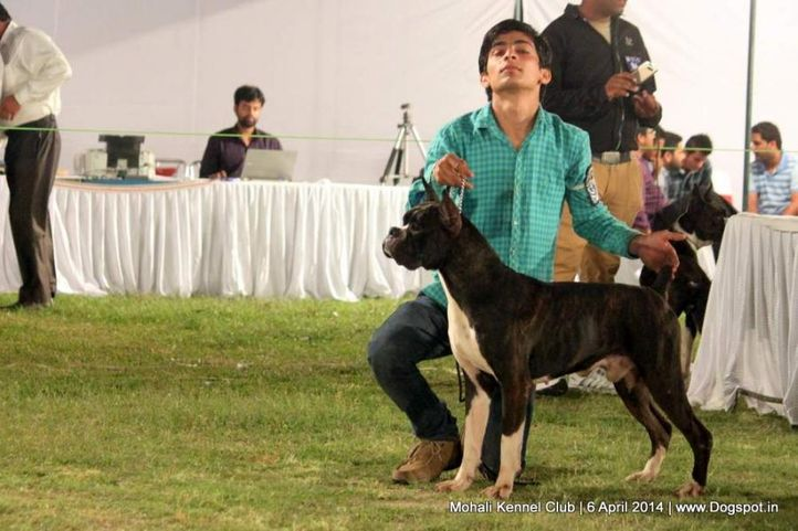 boxer,ex-90,sw-122,, SEALINE'S IMAGE OF CASH, Boxer, DogSpot.in