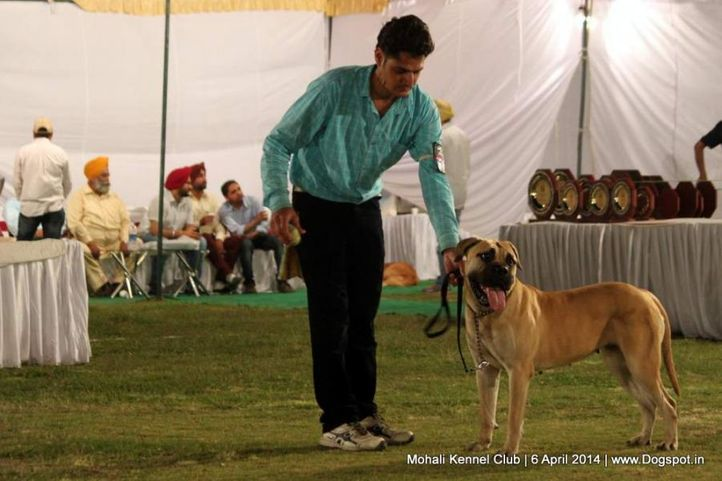 bull mastiff,sw-122,, Mohali Kennel Club, DogSpot.in