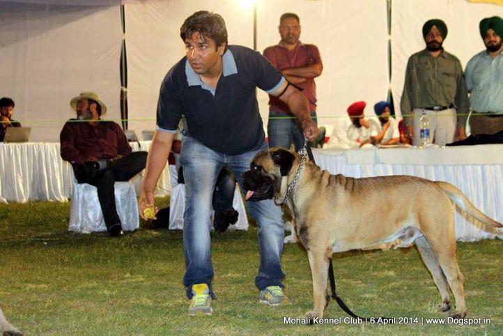 bull mastiff,ex-92,sw-122,, Astor, Bullmastiff, DogSpot.in