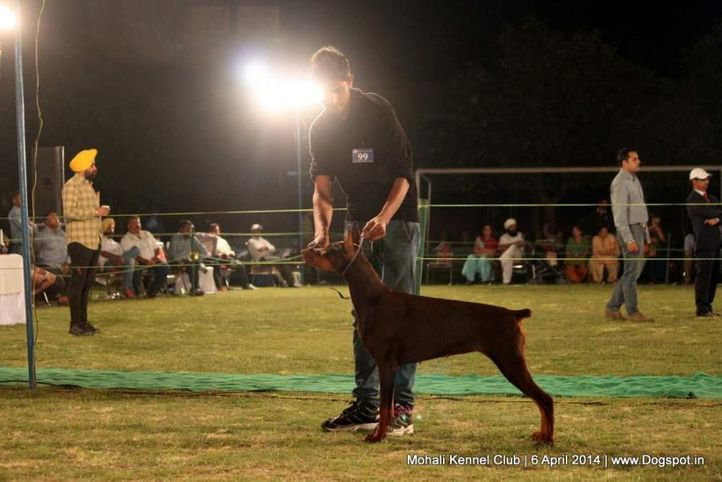 doberman pinscher,sw-122,, Mohali Kennel Club, DogSpot.in
