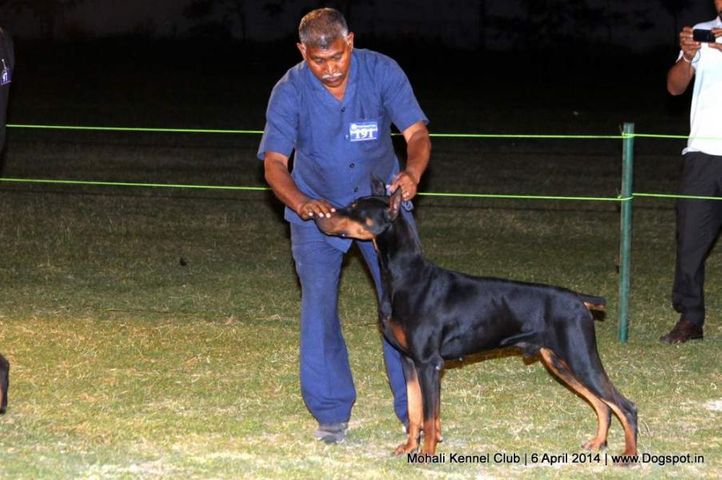 doberman pinscher,ex-191,sw-122,, Mohali Kennel Club, DogSpot.in