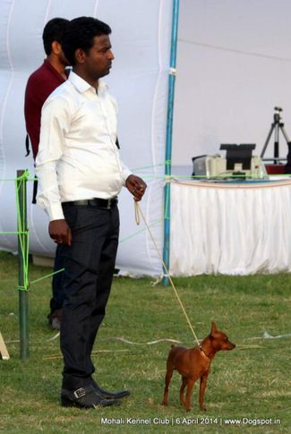 min-pin,miniature pinscher,sw-122,, Mohali Kennel Club, DogSpot.in