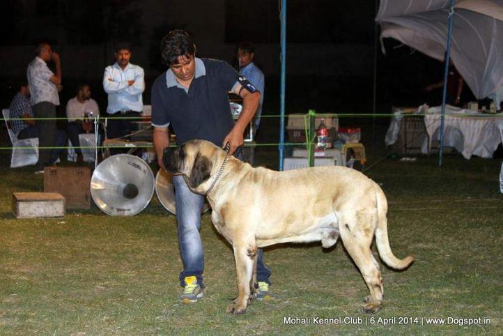 ex-117,mastiff- english,sw-122,, NEHRA'S LION, Mastiff- English, DogSpot.in
