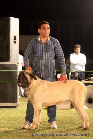 mastiff- english,sw-122,, Mohali Kennel Club, DogSpot.in