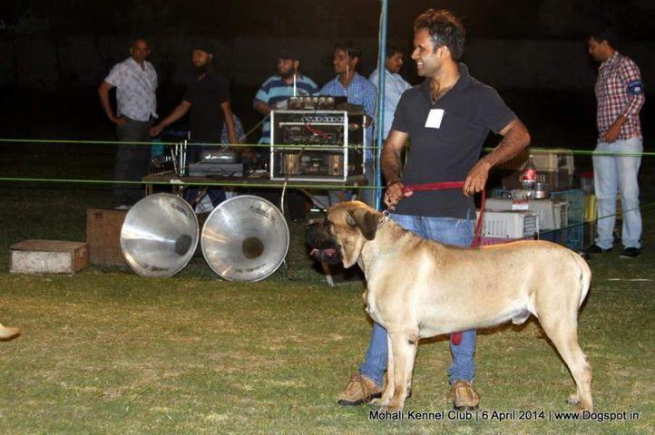 ex-195,mastiff- english,sw-122,, Mohali Kennel Club, DogSpot.in