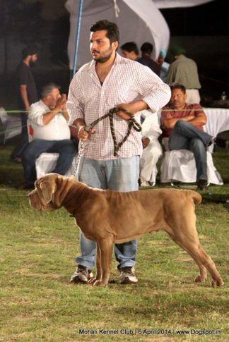 ex-119,neapolitan mastiff,sw-122,, ROMEO, Neapolitan Mastiff, DogSpot.in