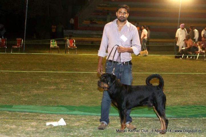 rottweiler,sw-122,, Mohali Kennel Club, DogSpot.in