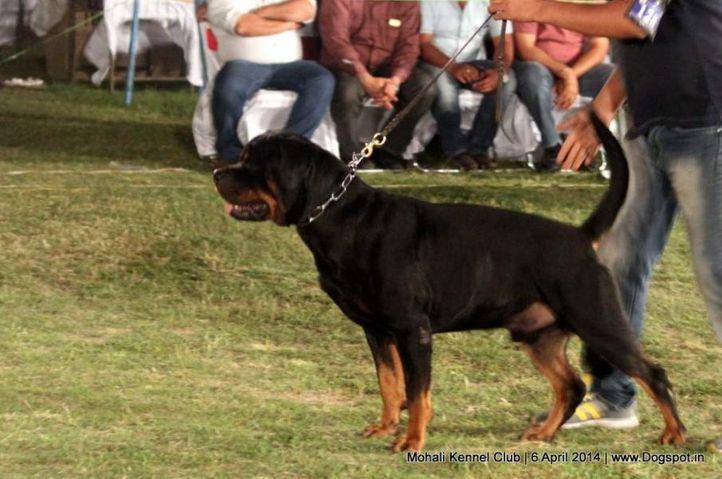 ex-128,rottweiler,sw-122,, NEHRA'S FEROJ OF AMILA, Rottweiler, DogSpot.in