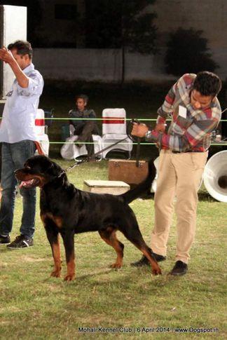 ex-126,rottweiler,sw-122,, TIWANA'S TANGO CHARLIE, Rottweiler, DogSpot.in