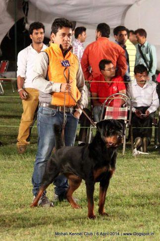 ex-136,rottweiler,sw-122,, ERRA OF CARNIVOUS, Rottweiler, DogSpot.in